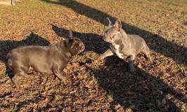 frenchbulldogge-25
