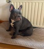 frenchbulldogge-32