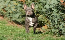 frenchbulldogge-34