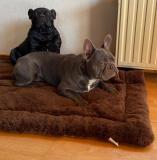 frenchbulldogge-40