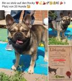 frenchbulldogge-78