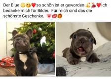 frenchbulldogge-85