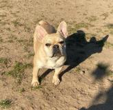 frenchbulldogge-71