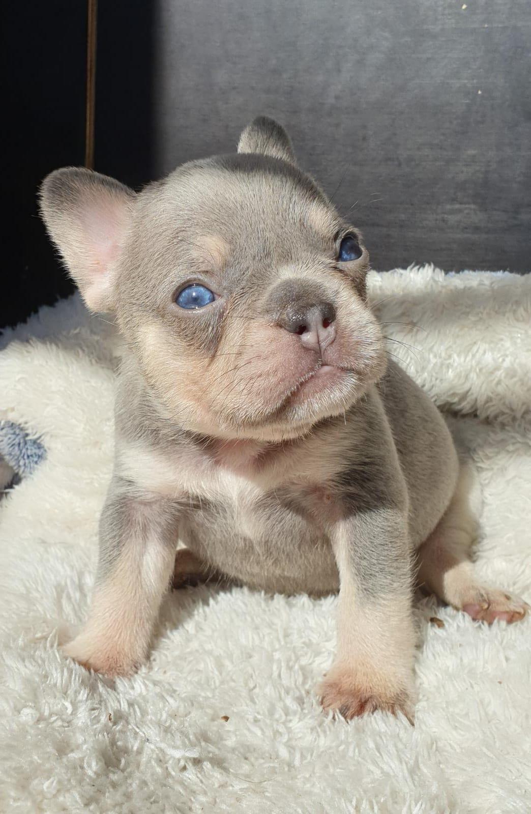 frenchbulldogge-47