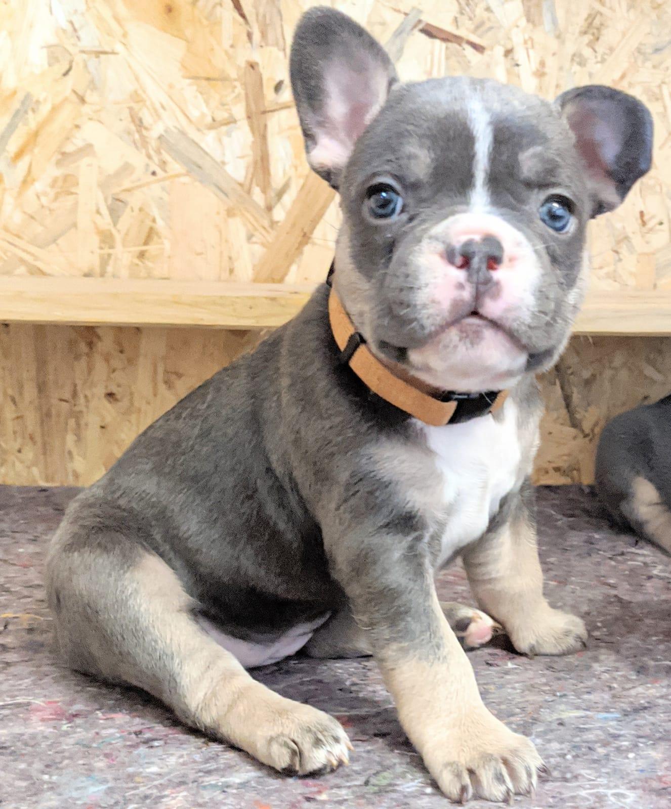 frenchbulldogge-50