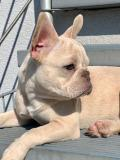 frenchbulldogge-49