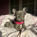 frenchbulldogge-56