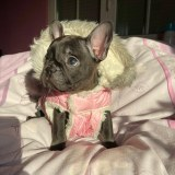 frenchbulldogge-59