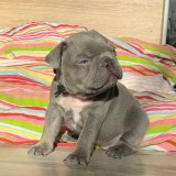 frenchbulldogge-60