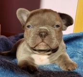 frenchbulldogge_de_Welpen_Startseite-4