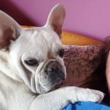 frenchbulldogge-06
