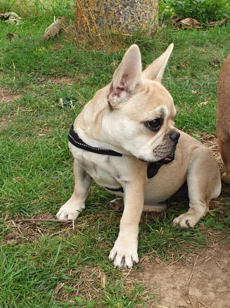 frenchbulldogge-10