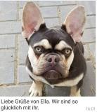 frenchbulldogge-80