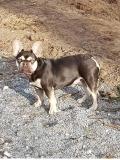 frenchbulldogge-83