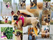 frenchbulldogge-84