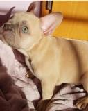 frenchbulldogge-20
