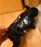 frenchbulldogge-55