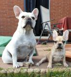 frenchbulldogge-67